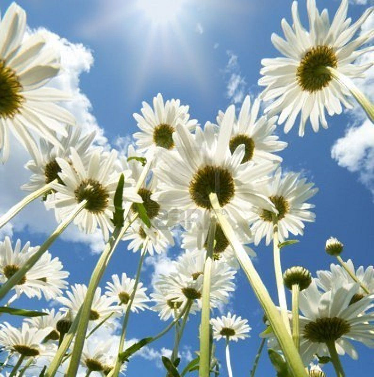 Pin by isthar on flores pinterest ground view of daisy flowers similar to the angle i have been using in my photography work izmirmasajfo