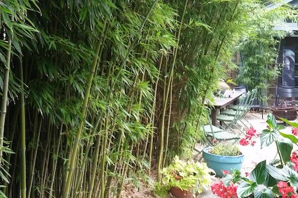 bamboo privacy hedges nj bamboo pennington nj