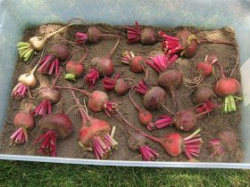 The Little Things: Storing Beets The Old Fashioned Way (Kind of...)