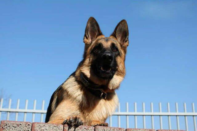 Resultado de imagen para german shepherd barks bark