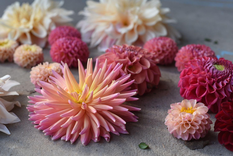 Dahlias Cactus Apricot Peach Pink Red Ball Little Button