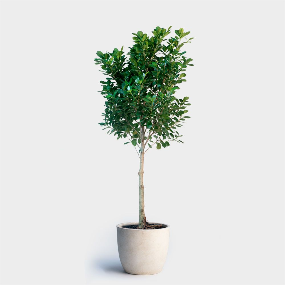Ficus Moclame Plant Delivery New York City