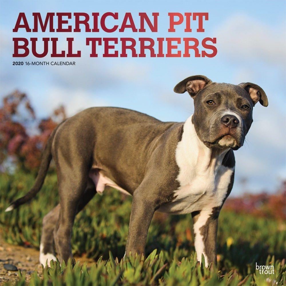55 American Pitbull Bull In 2020 Pitbull Terrier American Pitbull Terrier Pitbulls