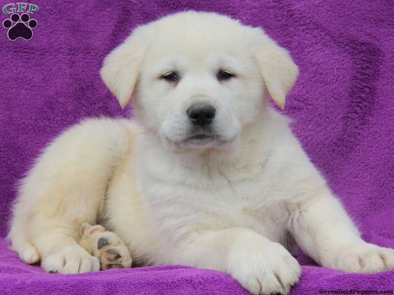 Samson Great Pyrenees Mix Puppy For Sale In Pennsylvania Great