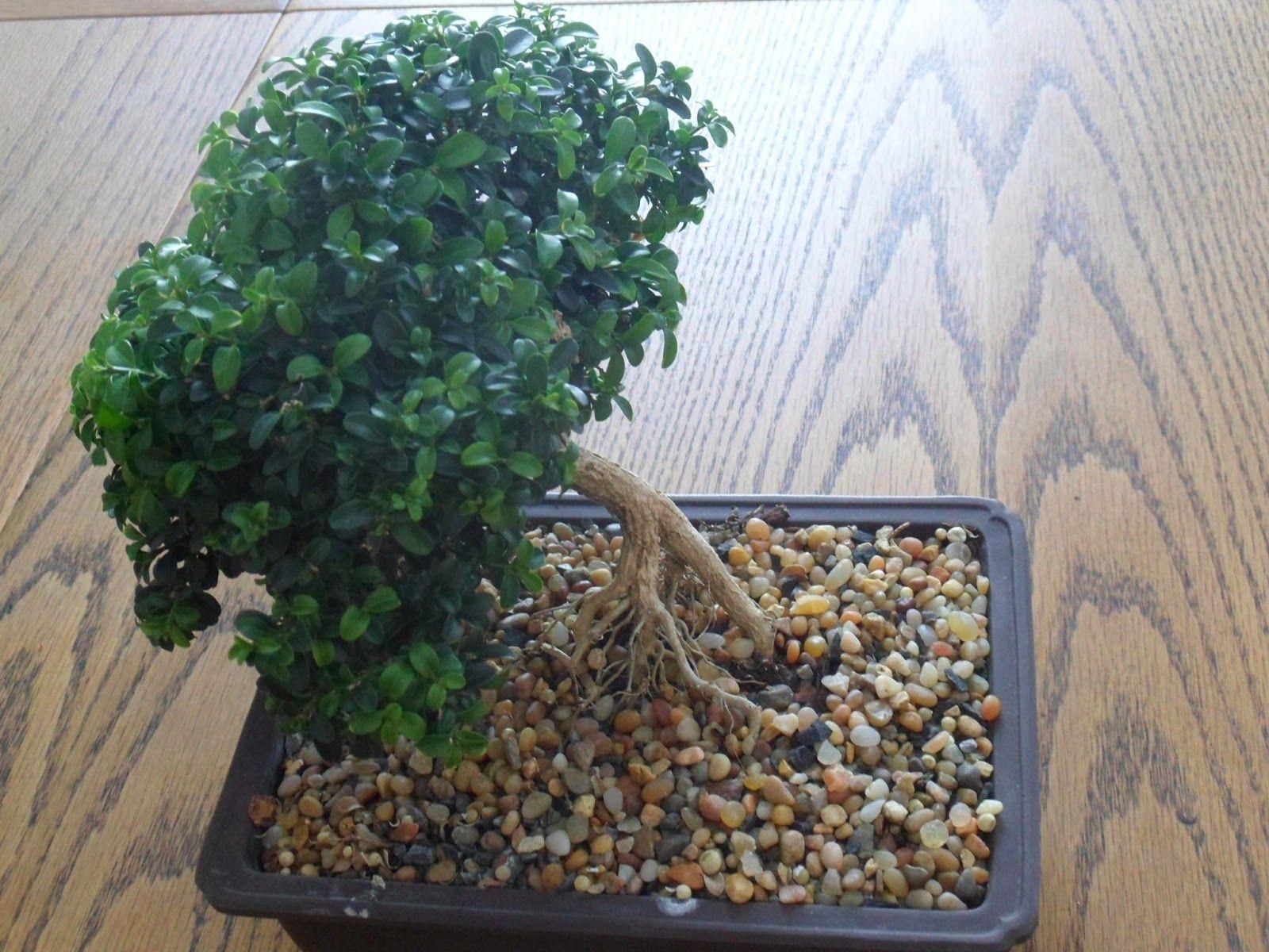 african myrtle bonsai round - Google-søk