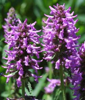 Purple flower names enlisted with a beautiful photo gallery betony purple betony wood betony bishops wort scientific name stachys officinalis plant type perennial blooming june mightylinksfo