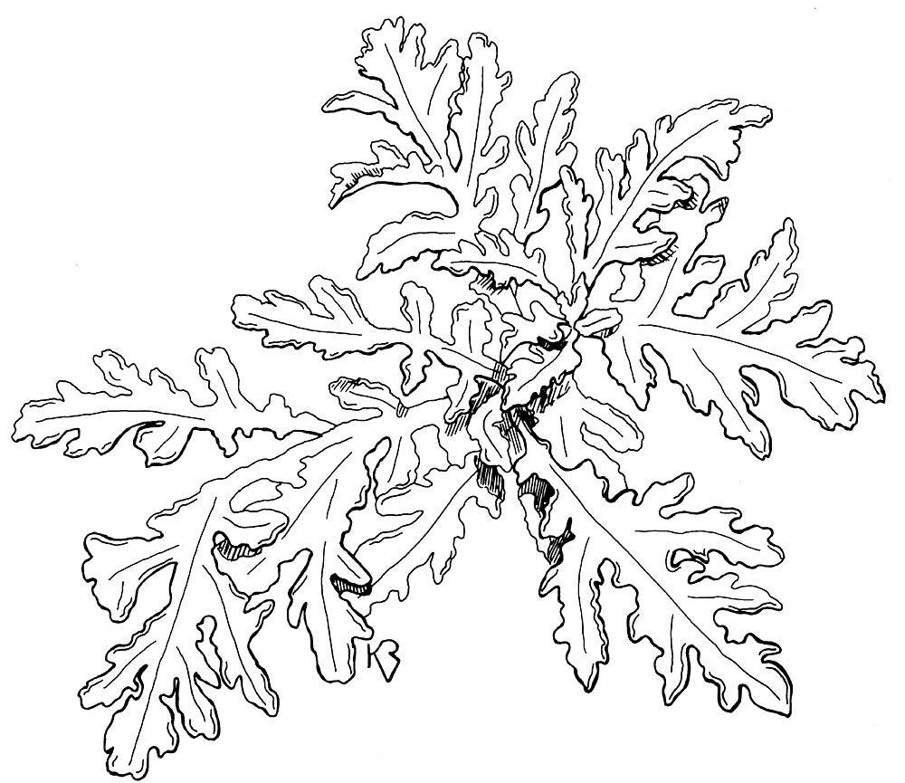 Artemisia Vulgaris Drawing Google Search Drawings Artemis