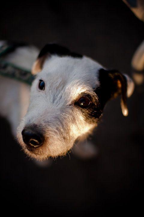 Jack Russell Jack Russell Dogs Jack Russell Terrier