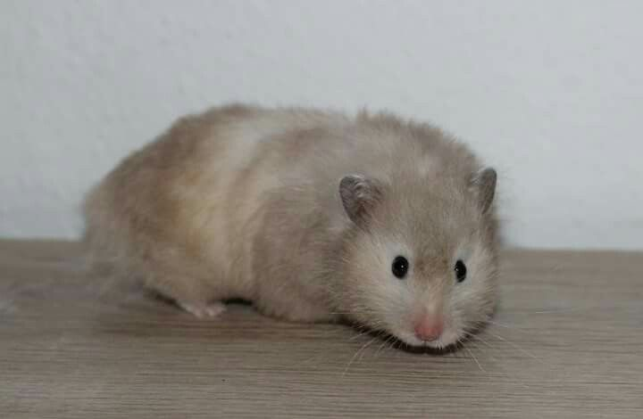 Silver Blue Sable Lh Hamster Small Pets