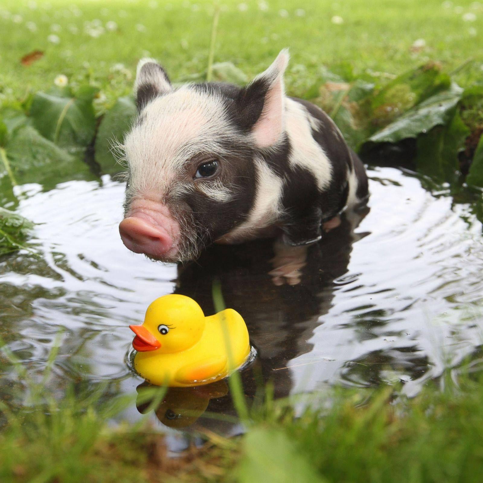 Animals Nature Cute Wild Pig Piggie Micropig Porquinho