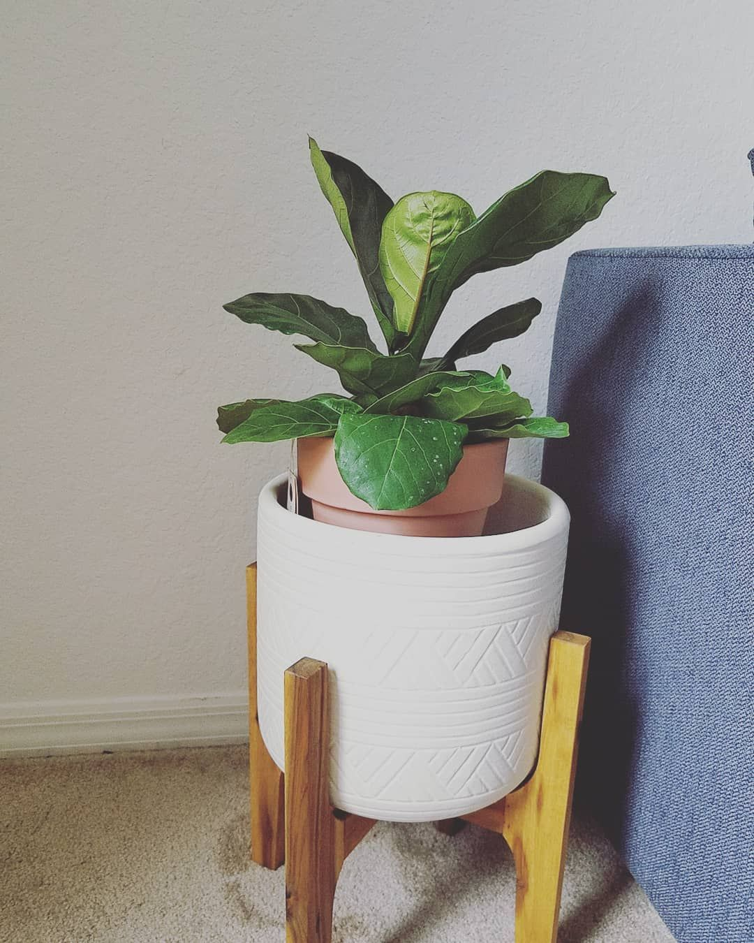 I finally joined the masses and got myself a fiddle leaf fig 😊 I purposefully got the absolute smallest babe I could find just because I find it so much more satisfying to watch a small plant grow. And yes I know it's way too small for that plant stand right now but it'll grow into it. Also I have fully emotionally prepared myself for this thing to throw a fit. I did do some research before getting it and everything said that odds are the plant is probably gonna get some leaf browning and even