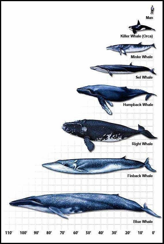 Whales of the World: Size | Cetancodontamorpha (Whales/Hippos ...