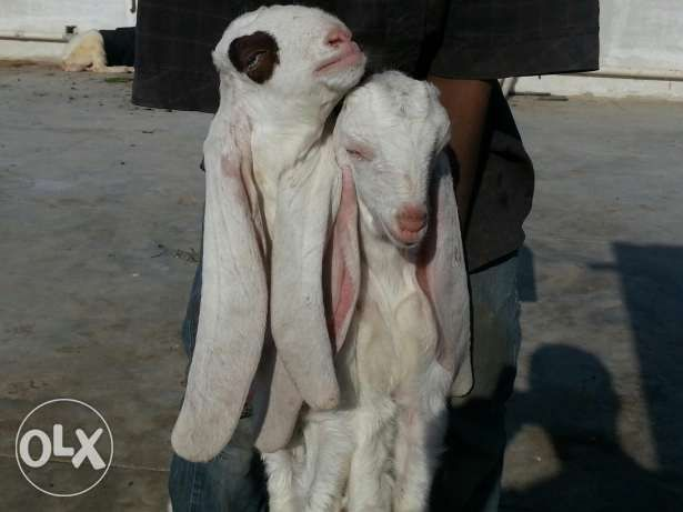 Gulaby kids male female with kapli gulabi bakri - Pets - Karachi