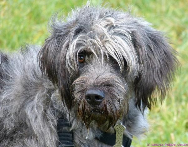 Image Result For Bearded Collie Poodle Mix Collie Poodle Mix