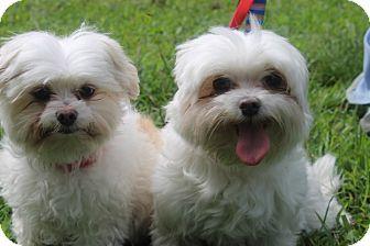 Waldorf Md Maltese Mix Meet Emma A Dog For Adoption Http Www Adoptapet Com Pet 11418776 Waldorf Maryland Maltese Mix Dog Adoption Maltese Mix Pets