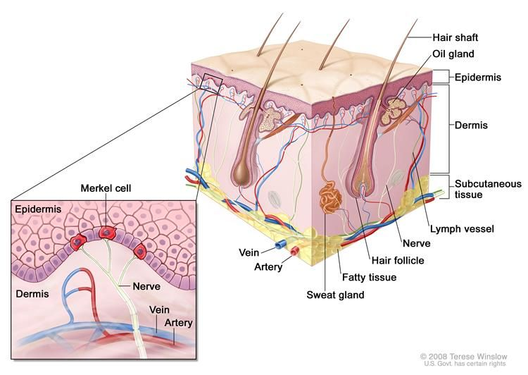 Anatomy Of The Skin With Merkel Cells Drawing Shows Normal Skin