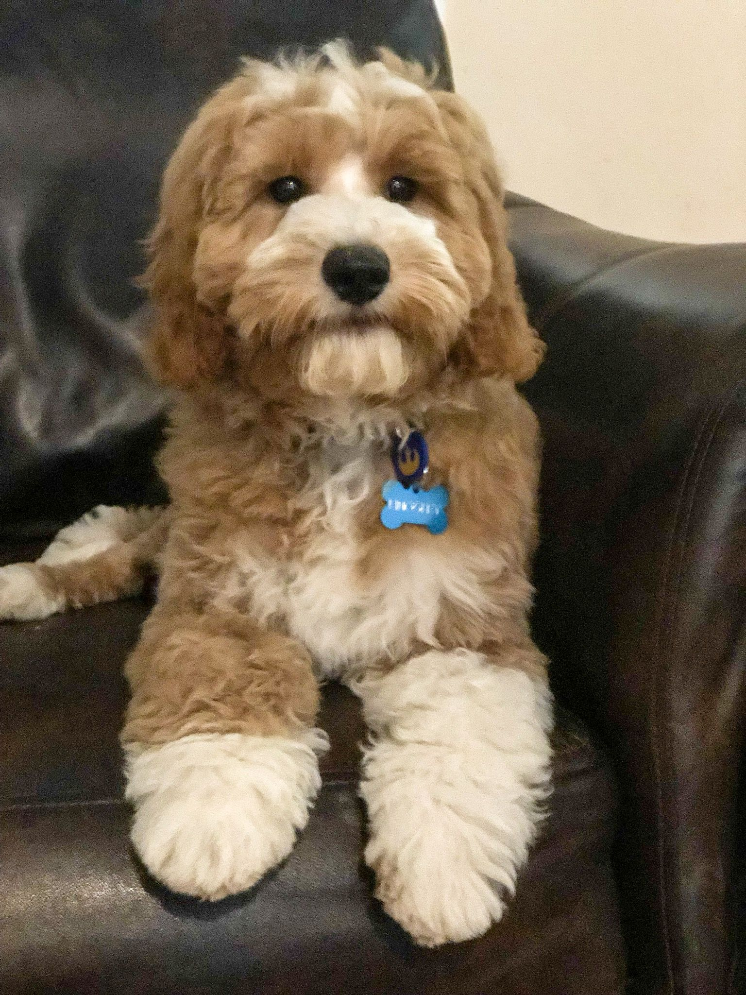 Red And White Goldendoodle Tuxedo Goldendoodle Puppy Candy