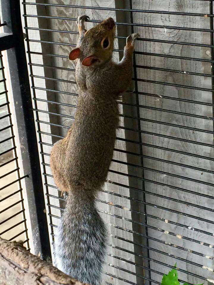 Squirrel in recovery