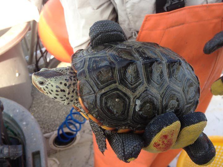 Texas Diamondback Terrapin Turtle Love Tortoises Turtle