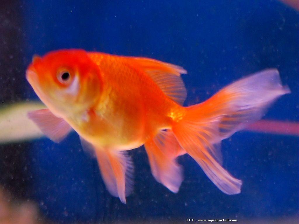Poisson rouge avec queue voile de couleur rouge aussi for Nourriture poisson rouge voile de chine