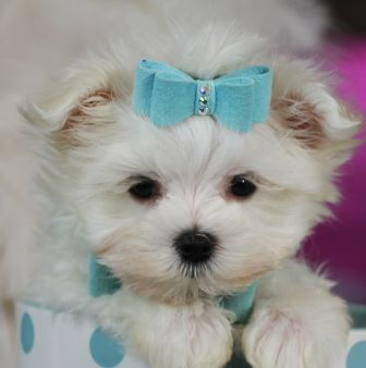 Teacup Maltese Bring This Perfect Baby Home Today Call 954 353 7864 Www Teacuppuppiesst Maltese Puppy Maltese Puppies For Sale Teacup Puppies Maltese