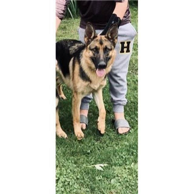Lost Dog Hutchinson German Shepherd Male Date Lost 02 15 2020