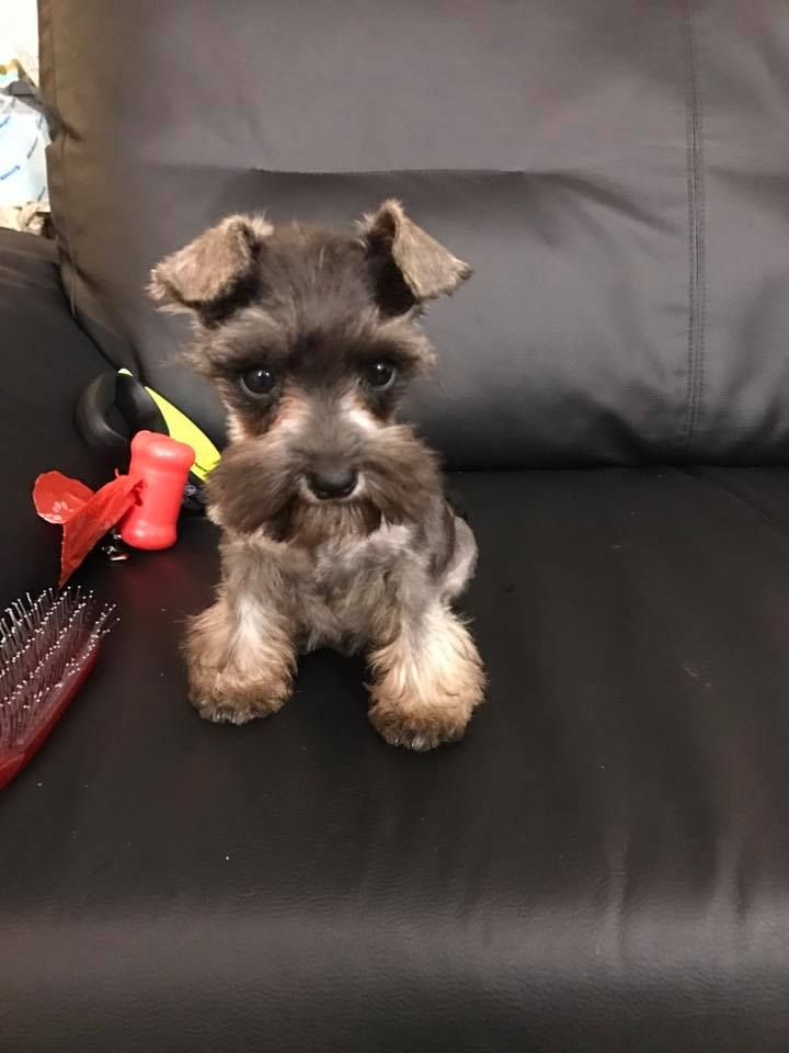 Such A Cutie Pie From California Cute Dogs Baby Dogs Schnauzer