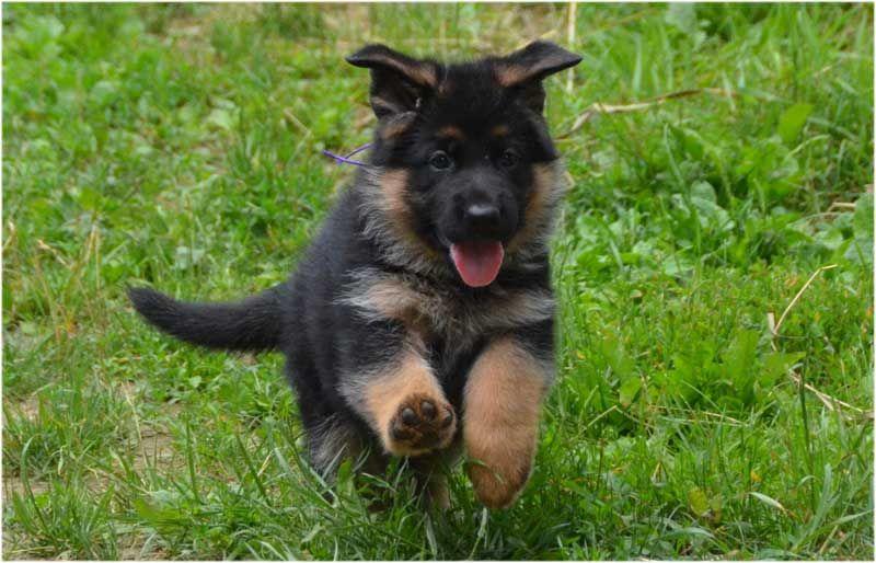 gsd puppy berger allemand pinterest allemand le chien berger et chiots berger allemands. Black Bedroom Furniture Sets. Home Design Ideas