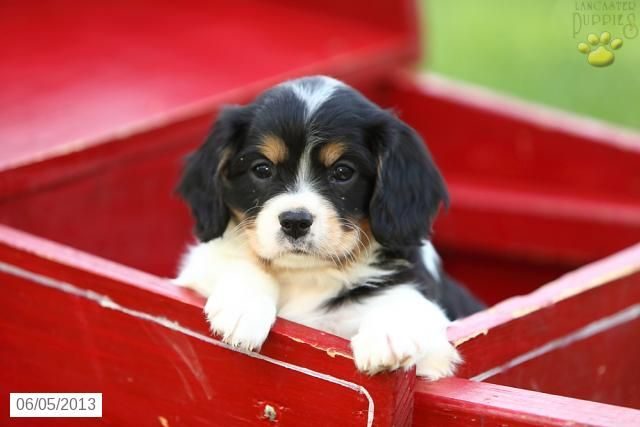 Cavashon Puppies For Sale Lancaster Puppies Puppies For Sale Puppies Cavachon Puppies