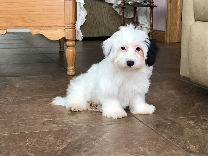 Coton De Tulear Breeders Puppies For Sale In Indiana Family