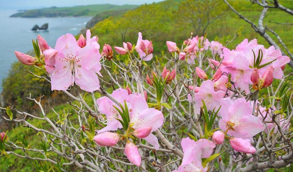 Rhododendron Schlippenbach (Khasan district, Primorsky kray, Russia)