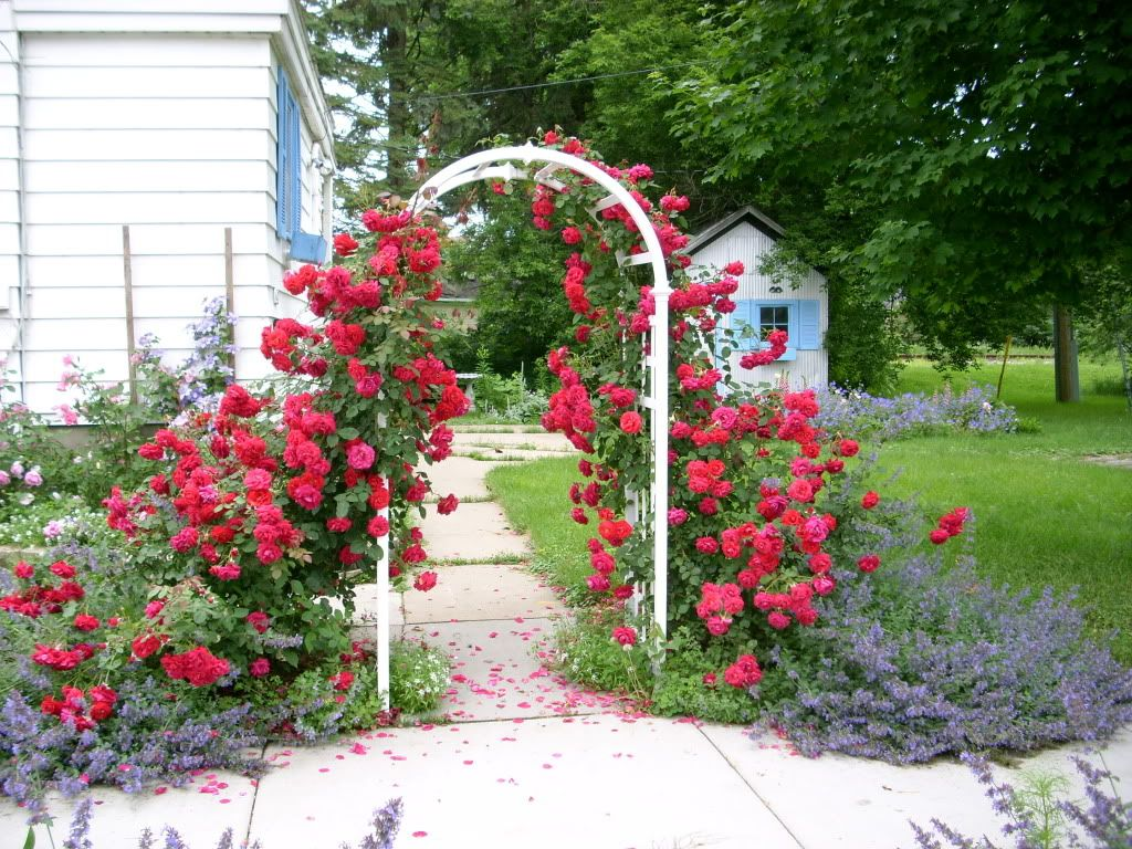 Climbing Rose Suggestion