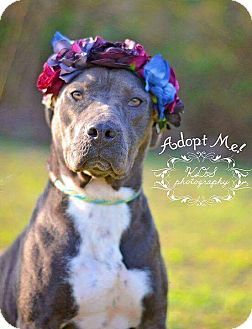 Pin By Lisa Howey On Dogs Pets American Bulldog Mix Alpha Dog