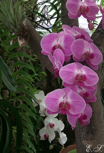Phalaenopsis h brido para ver crecer pinterest nota for Plantas ornamentales wikipedia