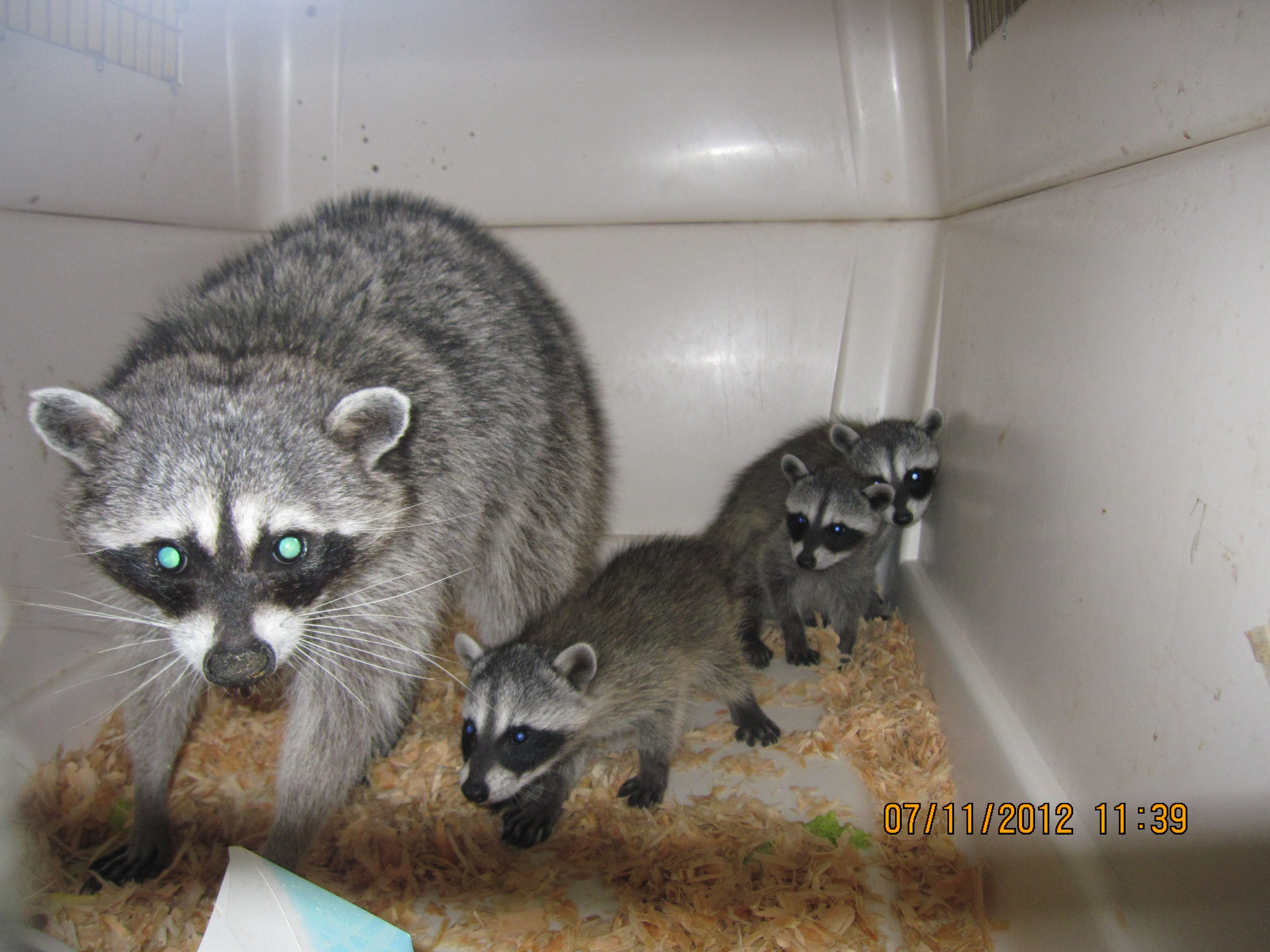 Momma Raccoon and her babies. Rescued from an attic