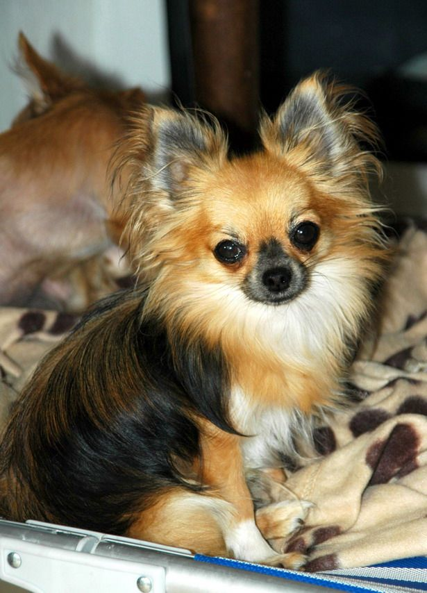 Chihuahua Long Poil Chihuahua Puppies Chihuahua Dogs Cute