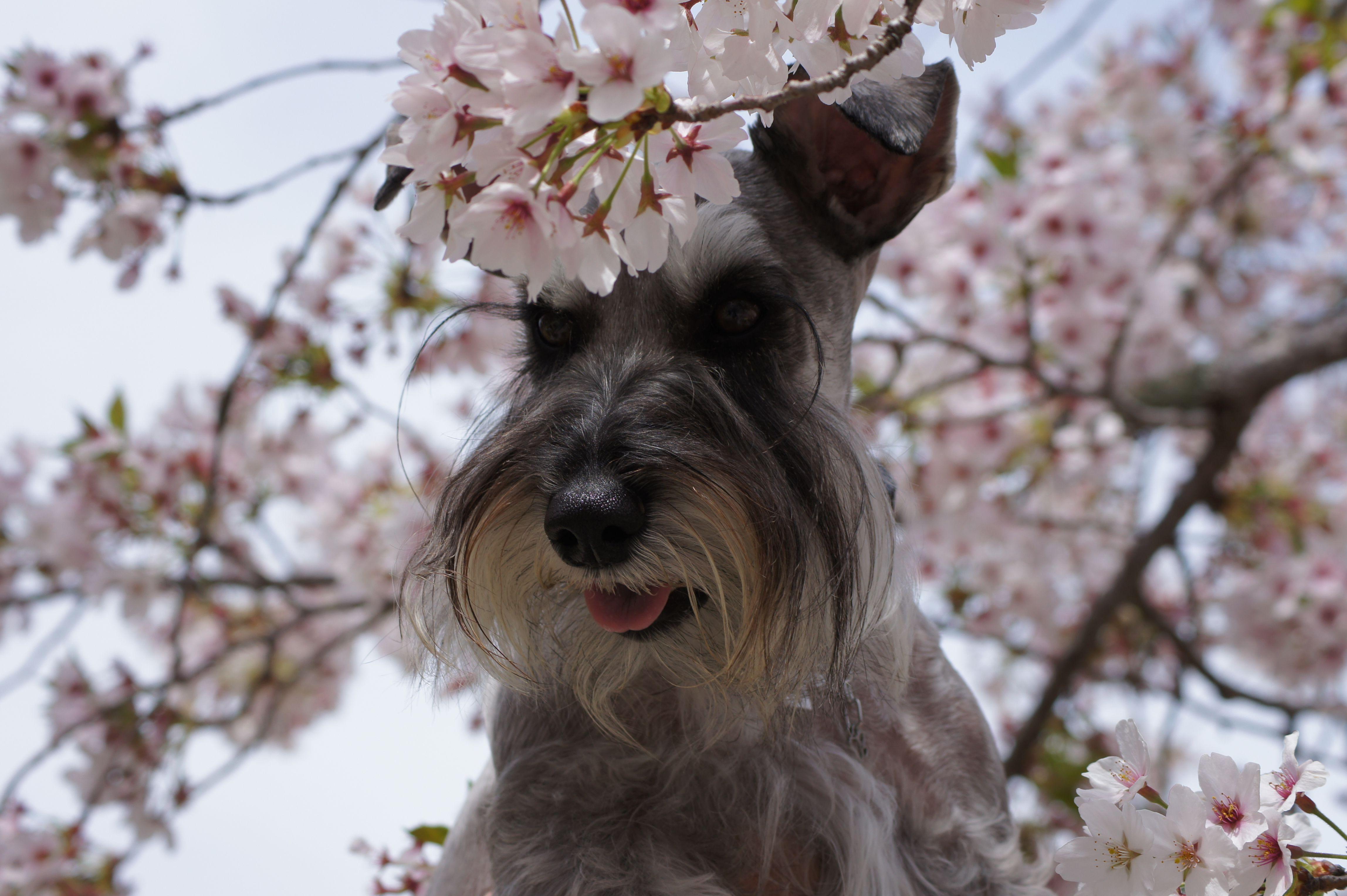 Cherry Blossoms Schnauzer Cherry Blossom Schnauzer Dogs