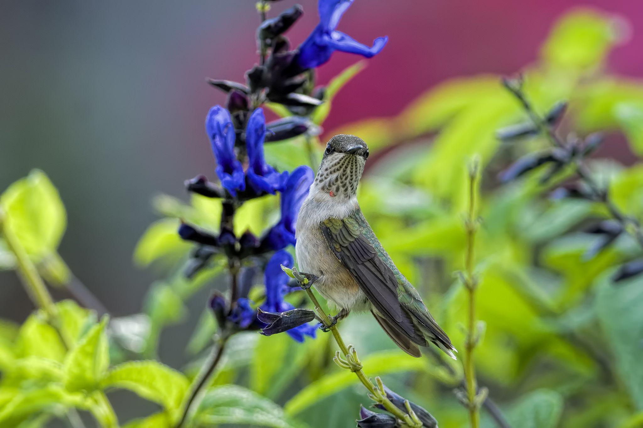 Hummingbird Perched on Salvia_DSC2057 Hummingbird perch