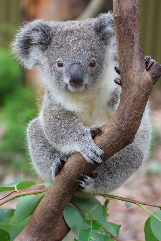 Koala facts for kids australian animals marsupials koalas baby koala australian animals - Pics of baby koalas ...
