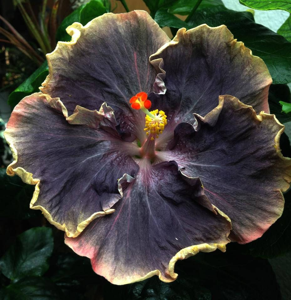Rare Yellow Black Hibiscus Seeds Giant Dinner Plate Fresh Flower