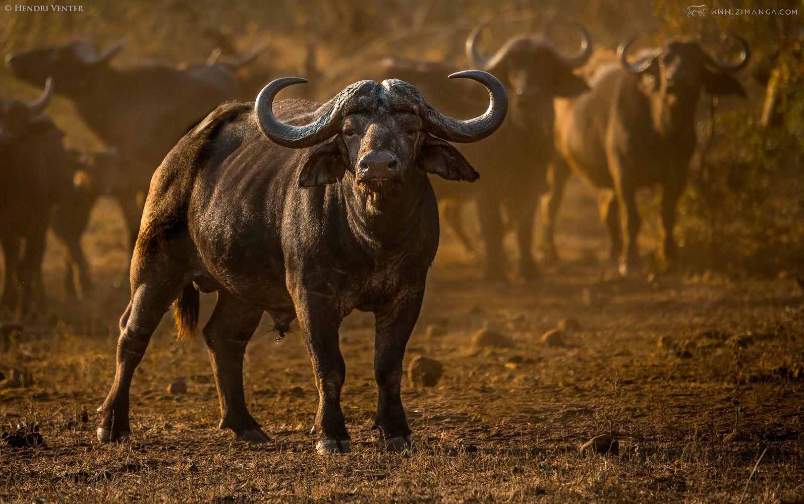 Photo Cape Buffalo by Hendri Venter on 500px