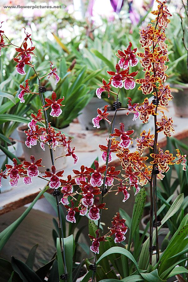 oncidium spp nystyk mmek t plantes non toxiques pour les chats pinterest orchid es fleur. Black Bedroom Furniture Sets. Home Design Ideas