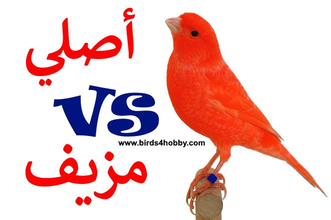 كناري الريد فاكتور او كناري العامل الأحمر كيفية تميز الكناري الأحمر الأصلي عن المزيف Animals Rooster