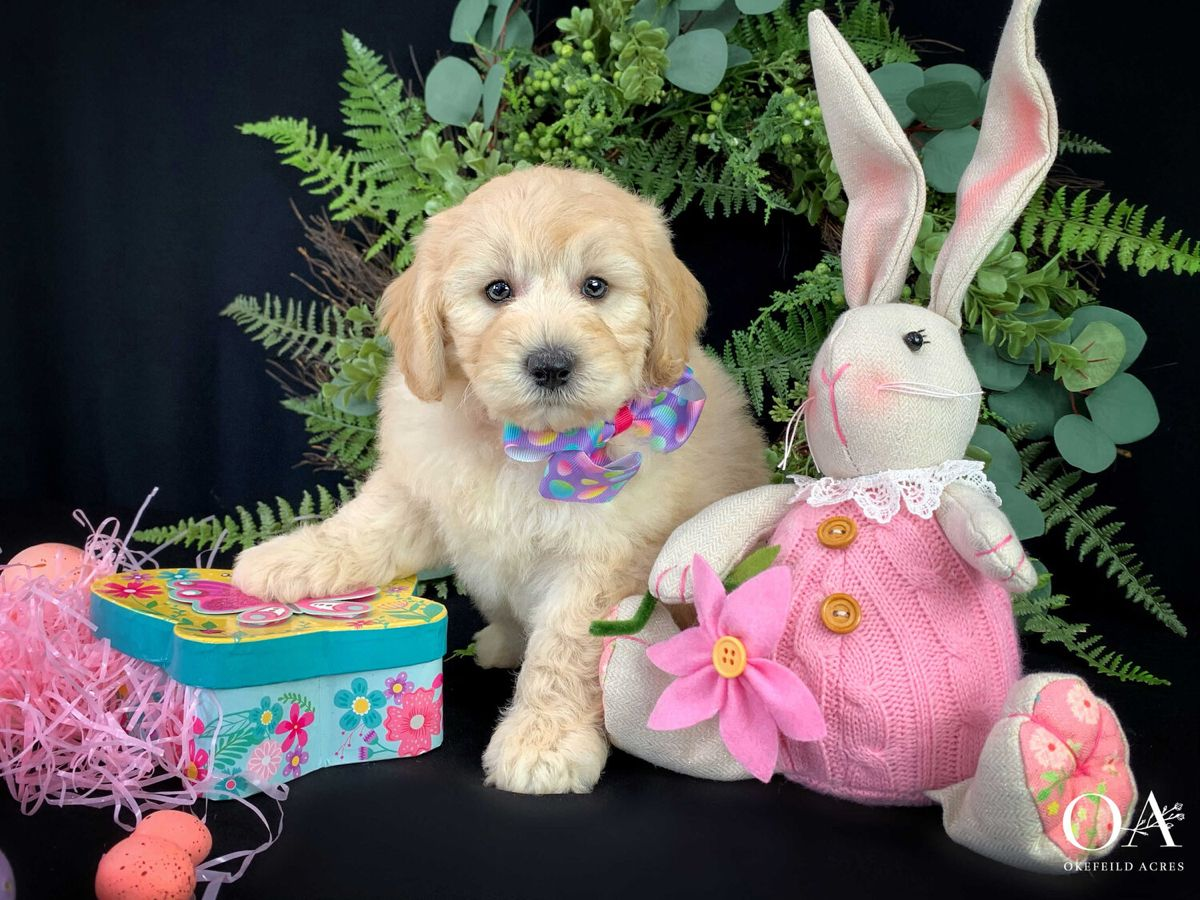 Macey Okefeild Acres Mini Teddybear Goldendoodle Puppies