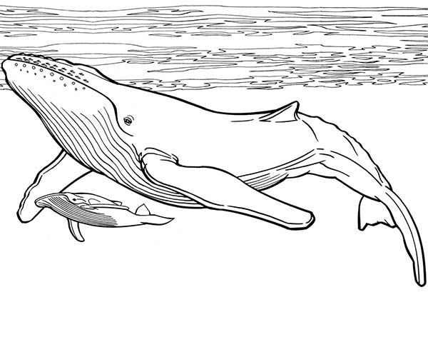 whale blue whale and her baby coloring page - Coloring Picture Of A Whale