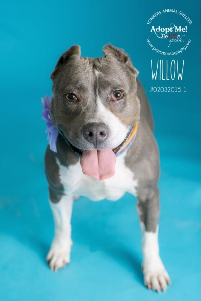 Adopt Willow On Adoption Pitbull Terrier Animals