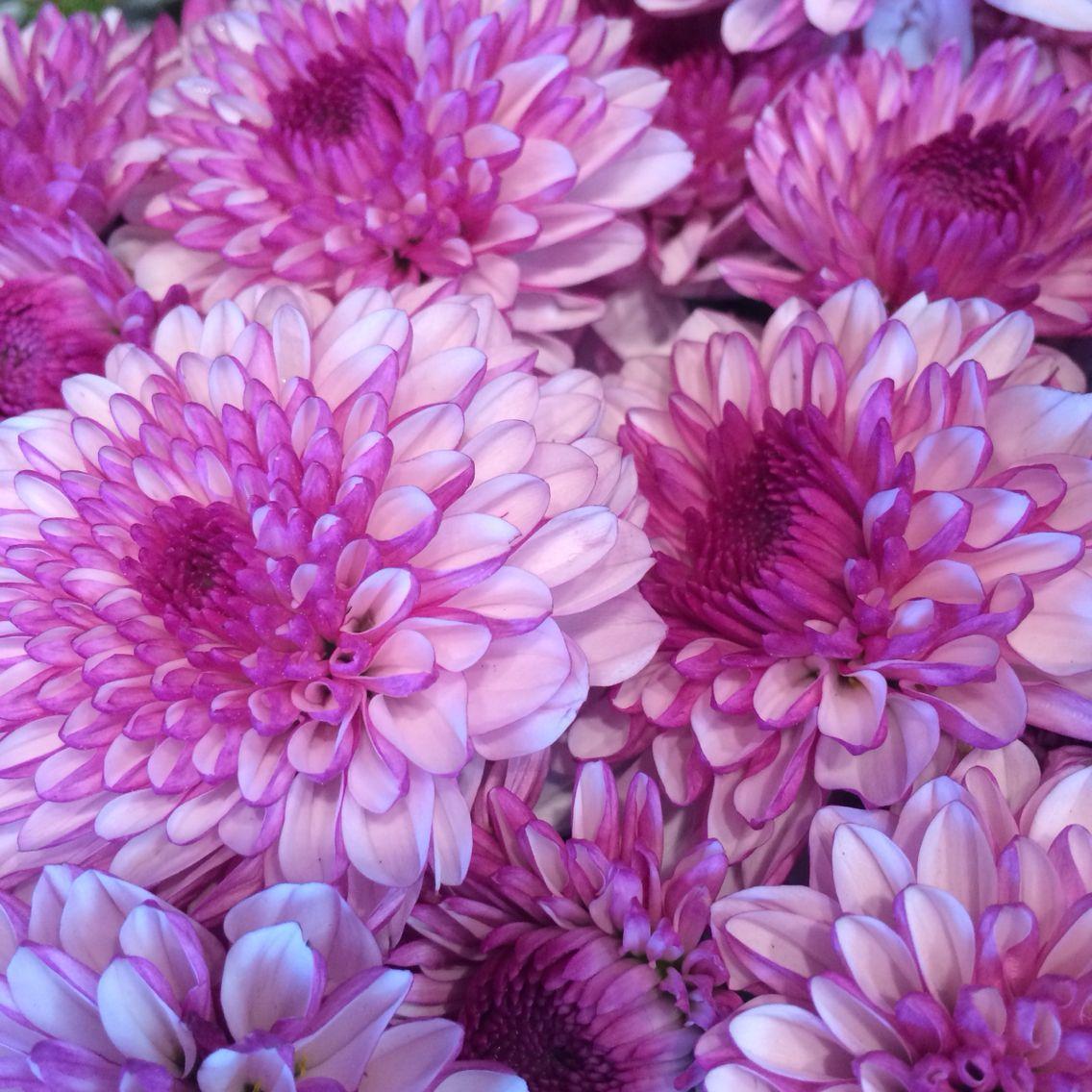 Dahlia Love Dahlia Flower Florist Rockflower On The Go