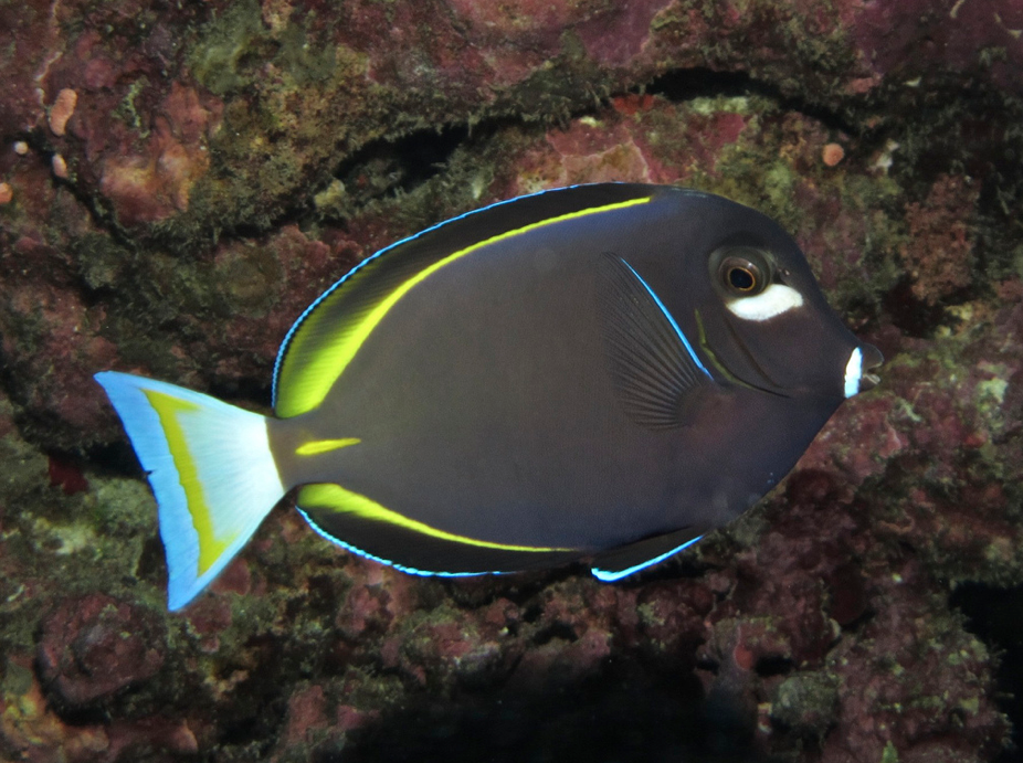 White Cheek Tang I Have One Of These As Well Though He Is Never This Dark Very Aggressive To New Fish As Well Marine Fish Saltwater Tank Reef Tank