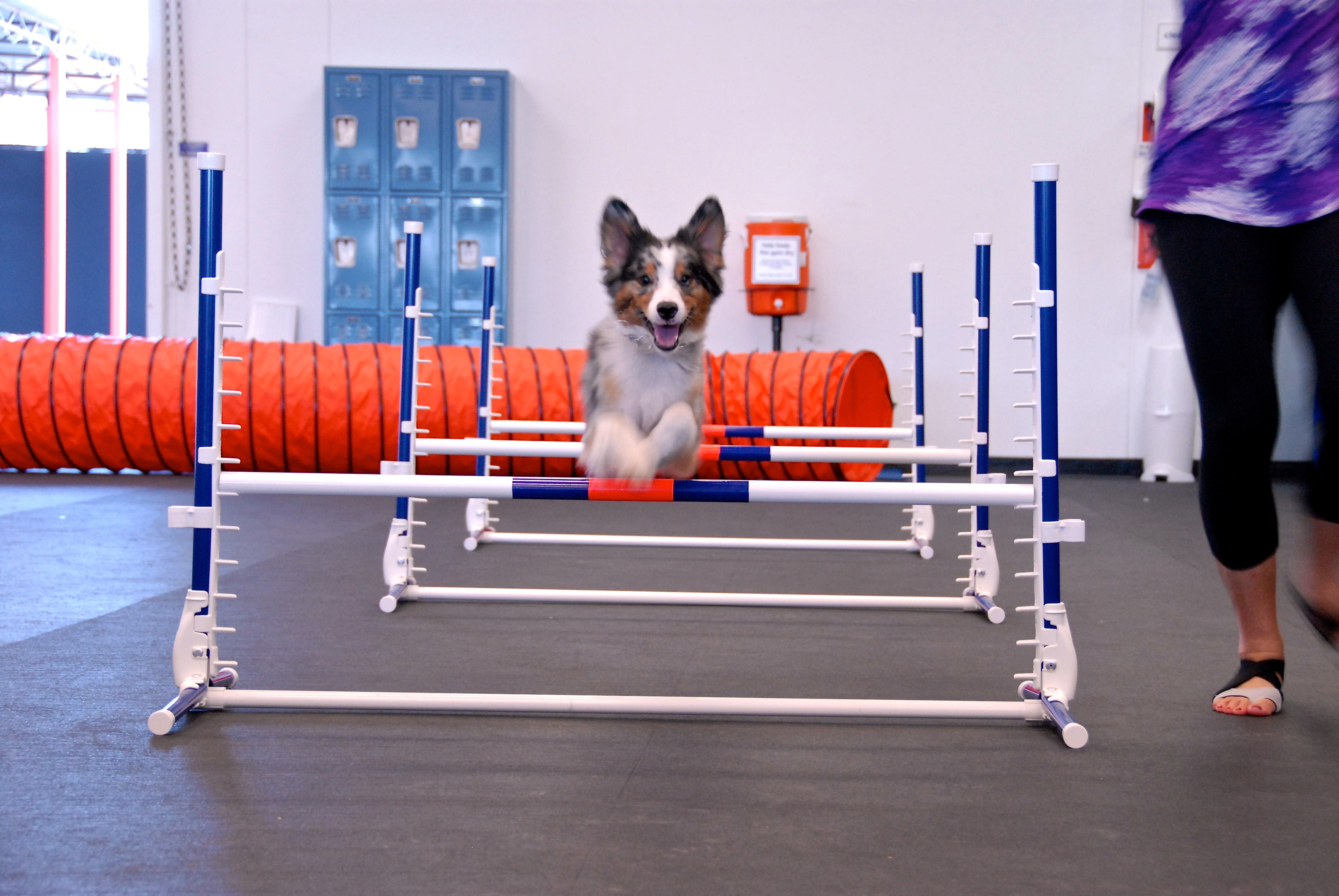 Larry David The Mini Aussie Is An Agility Superstar In The