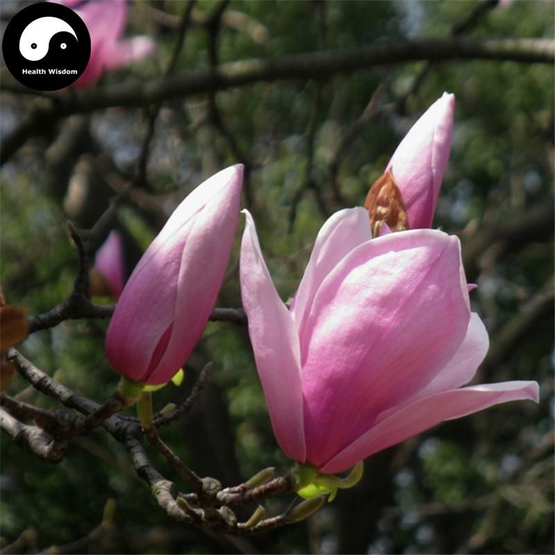 Buy Purple Lily Magnolia Tree Seeds 100pcs Plant Mchella Liliflora Zi Yu Lan Magnolia Trees Tree Seeds Purple Lily